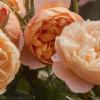 RHS Chelsea: David Austin launches the Roald Dahl rose