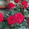 The summer is looking rosy! Here's our guide to roses…