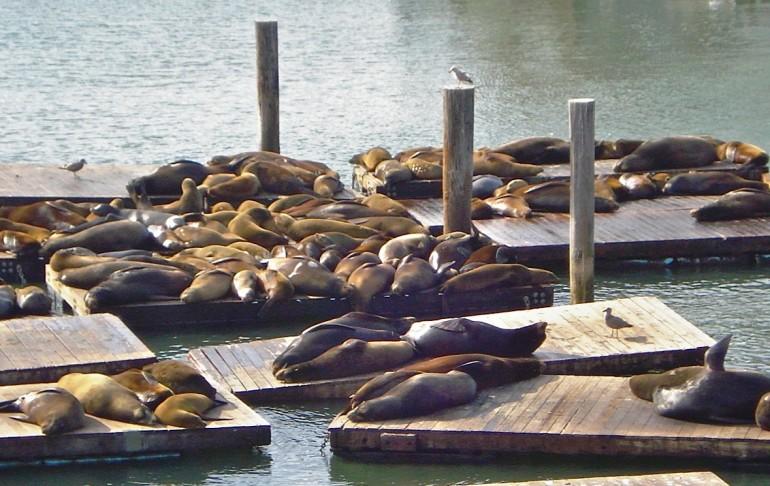 The Sea Lions sunbathing on Pier 39