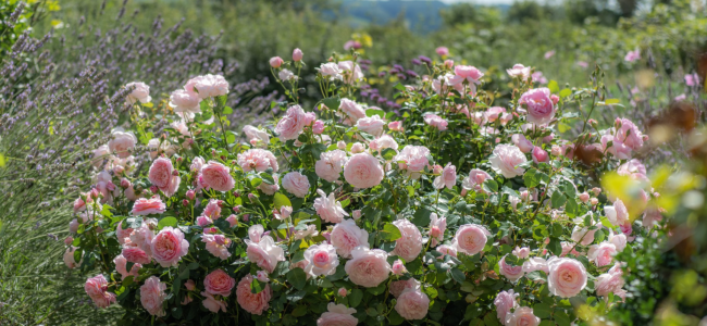 Grow your own freshly harvested bare root English Roses this autumn