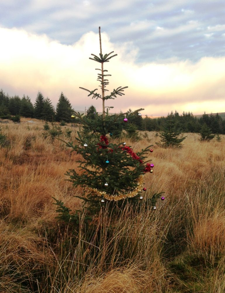 A pine tree gets into the Christmas spirit