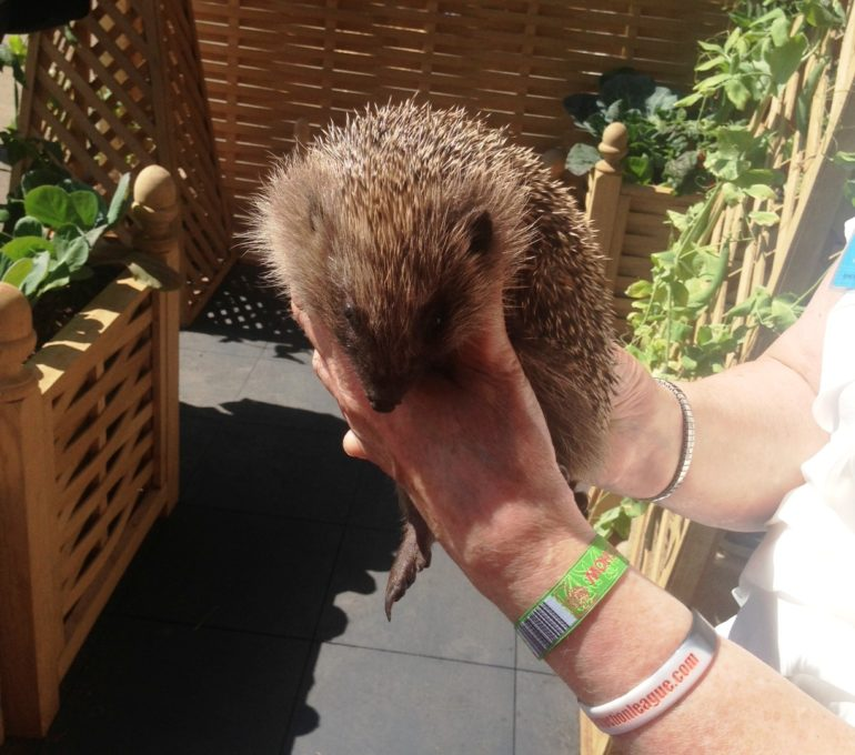 One of the rescue hedgehogs