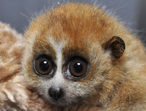 A Slow Loris will often have its teeth and claws brutally ripped out