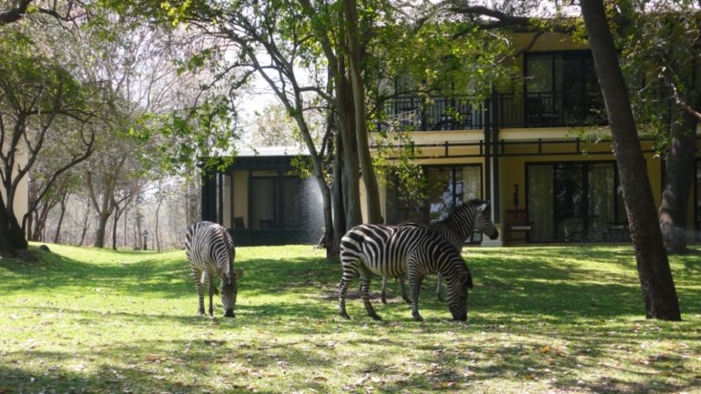 Zebras at the hotel